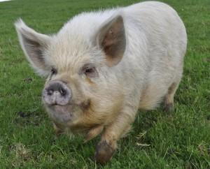 Eddie Pig.