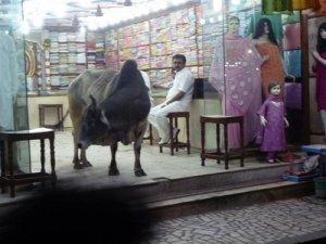 Cow browses through Fintona Continental market
