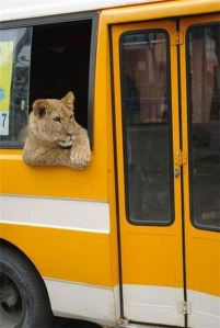 Lion on bus to Omagh
