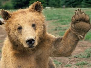 Irish bear?