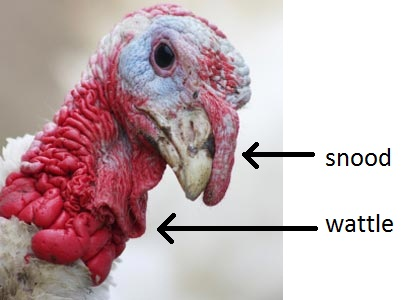 Image result for turkey wattle