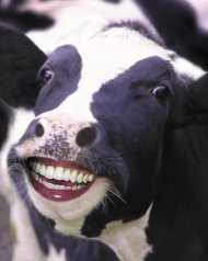 Funny-Cow-23