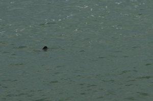 Lough Neagh dolphin
