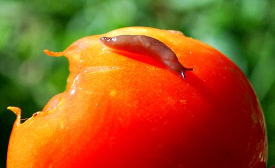 tomato-slug-25-adj-crop