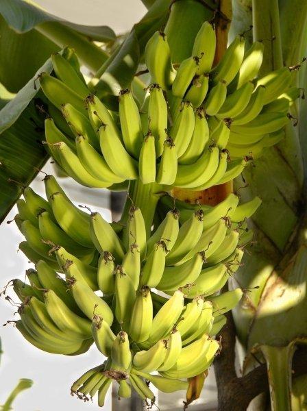 banana-bunchjpg-89a5215eb94330d8